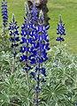 Lupinus-pilosus-2015-Zachi-Evenor-cropped03.jpg