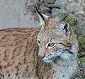 Lynx (15119109456).jpg
