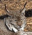 Lynx 5d (5512706858).jpg