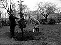 Maastricht, Tapijnkazerne, planten oranjeboom, 1936.jpg