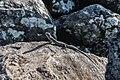 Mabuya na pedra.jpg