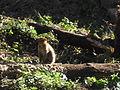 Macaque berbère à Ziama Mansouriah 5 (Algérie).jpg
