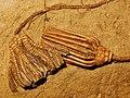 Macrocrinus mundulus - Abrotocrinus sp.jpg