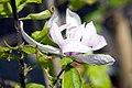 Magnolia Jane 5zz.jpg