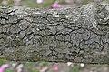 Magnolia sprengeri 'Diva' Branch Bark.JPG