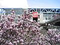 Magnolias à la Cité des Sciences et de l'Industrie.jpg