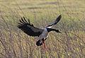 Magpie Goose Landing Flare - Fogg Dam - Northern Territory - Australia.jpg