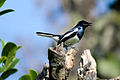 Magpie Robin (দোয়েল).jpg