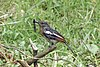 Magpie robin at national botanical garden, dhaka.jpg