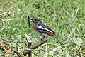 Magpie robin at national botanical garden, dhaka.jpg