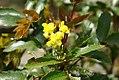 Mahonia aquifolium 4zz.jpg