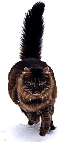 File:Maine Coon cat by Tomitheos.JPG