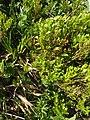 Malá Fatra, Vaccinium myrtillus.jpg