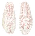 Malacobdella vascular system.png