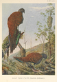 Malay Bronze-tailed Peacock Pheasant by Louis Agassiz Fuertes.png