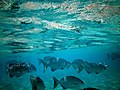 Maldives rudder fish kyphosus cinerascens.jpg