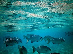 English: Maldives rudder fish (Kyphosus cinera...