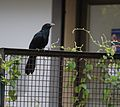 Male Asian koel.jpg
