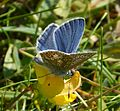 Male Common Blue. Polyommatus icarus - Flickr - gailhampshire (1).jpg
