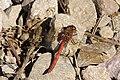 Male Ruddy Darter, Sympetrum sanguineum (44443560960).jpg