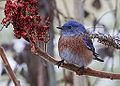 Male western bluebird feeding on sumac berries.jpg