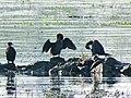 Mali kormorani, Djerdap NP, Srbija (16).jpg