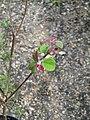 Mallotus japonicus (17332868491).jpg