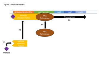 Transcriptional regulation - Wikipedia