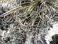 Mammillaria haageana (5736109351).jpg