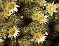 Mammillaria prolifera20100407 077.jpg