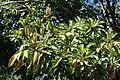 Manilkara zapota - Fruit and Spice Park - Homestead, Florida - DSC09128.jpg