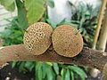 Manilkara zapota fruit, United States Botanic Garden.jpg