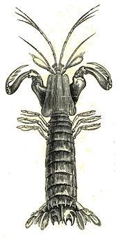 drawing of a mantis shrimp by richard lydekker, 1896
