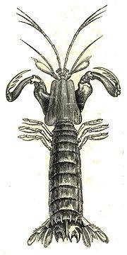 180px-MantisShrimpLyd.jpg