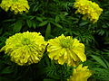 Marigold at Lalbagh Flower show August 20124538.JPG