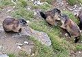 Marmota marmota, Der Kuss DSCF0053.JPG