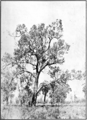 Marri in Primer of Forestry Poole 1922.png