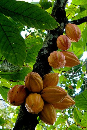 Theobroma cacao - Cacao fruits on the tree