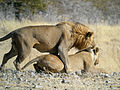 Mating Lion, Etosha National Park, Namibia (3906688346).jpg