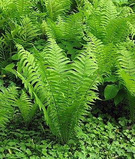 <i>Matteuccia</i> Species of fern in the family Onocleaceae