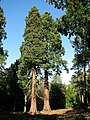 Mature Redwood Trees in Gilham's Heath Plantation - geograph.org.uk - 586516.jpg
