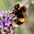 Me-nthedogs - Bumblebee on Lavender (by).jpg