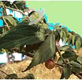 Medicinal tree, eye,diabetic-care,fruit,flower, leaves,TamilNadu411.jpeg