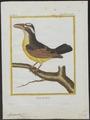 Megarhynchus pitangua - 1700-1880 - Print - Iconographia Zoologica - Special Collections University of Amsterdam - UBA01 IZ16500319.tif