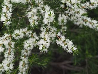 Melaleuca bracteata - Melaleuca bracteata leaves and flowers
