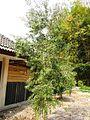 Melaleuca leucadendra plant Pj IMG 0085.JPG