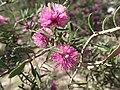 Melaleuca sclerophylla foliage and flowers.jpg