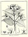 Melastoma grandiflora Aublet 1775 pl 160.jpg