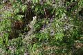 Melia-azedarach-flowers.JPG