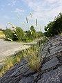 Melica ciliata subsp. ciliata sl1.jpg